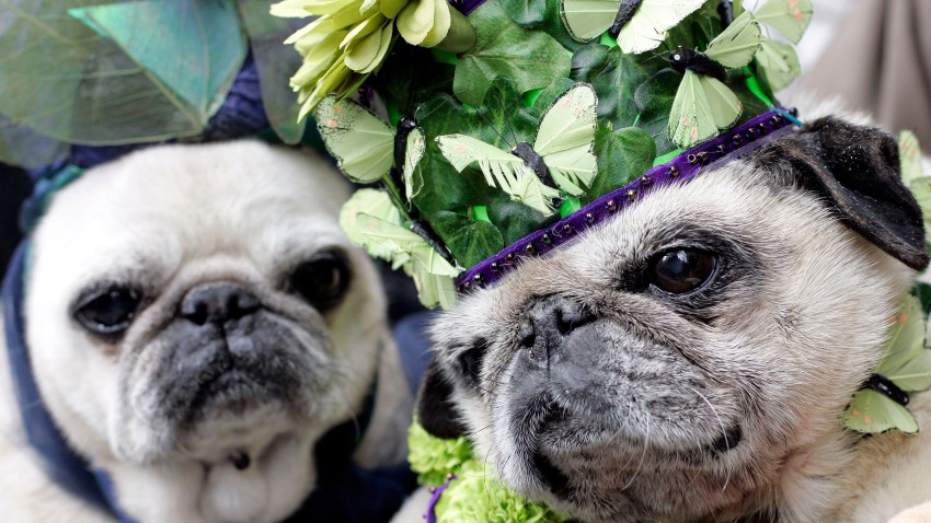 041009 Easter Hats pugs 3