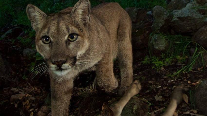 3-5-15 P33 female mountain lion
