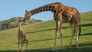Giraffe at SD Safari Park