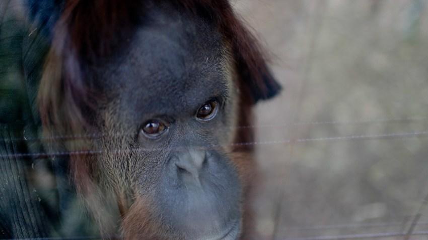 APTOPIX Argentina Orangutan