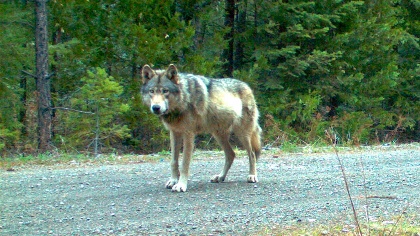 This remote camera photo taken May 3, 2014, and provided by the Oregon Department of Fish and Wildlife shows the wolf OR-7 on the Rogue River-Siskiyou National Forest in southwest Oregon.
