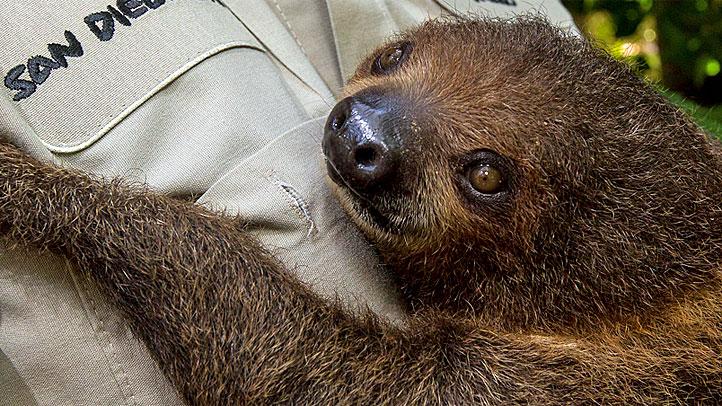 Baby-Sloth-CU