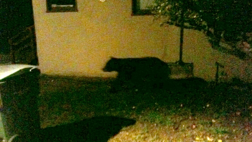 Bear Wanders Through San Luis Obispo