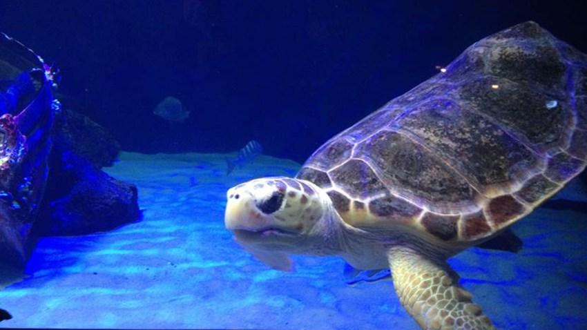 Birch aquarium turtle