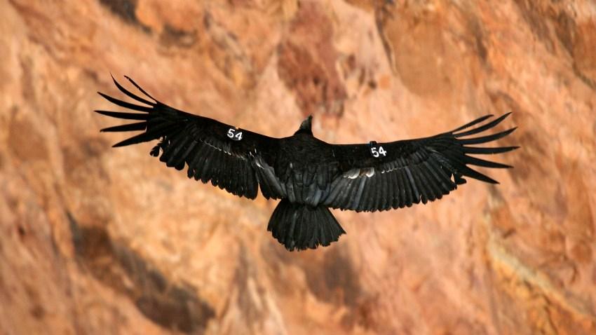 California Condor May 2019