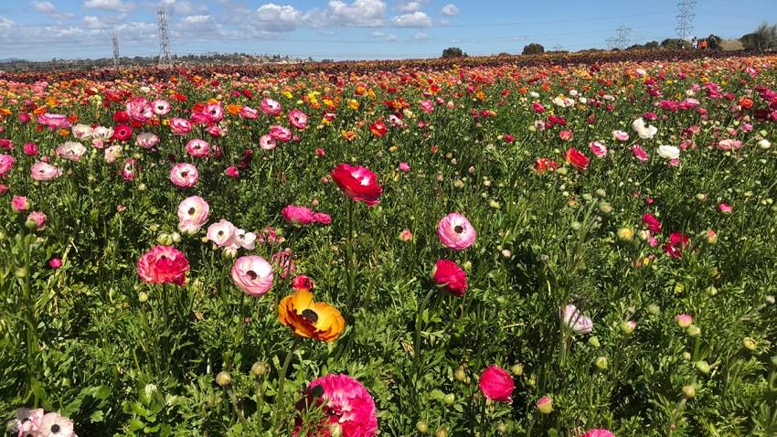 Flower Fields At Carlsbad Ranch Ready For 2020 Season Nbc 7 San