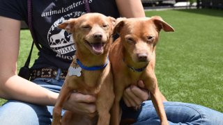 Chihuahuas Cash and Chadwick dazzle the camera with smiles. They are up for adoption at the Helen Woodward Animal Center.