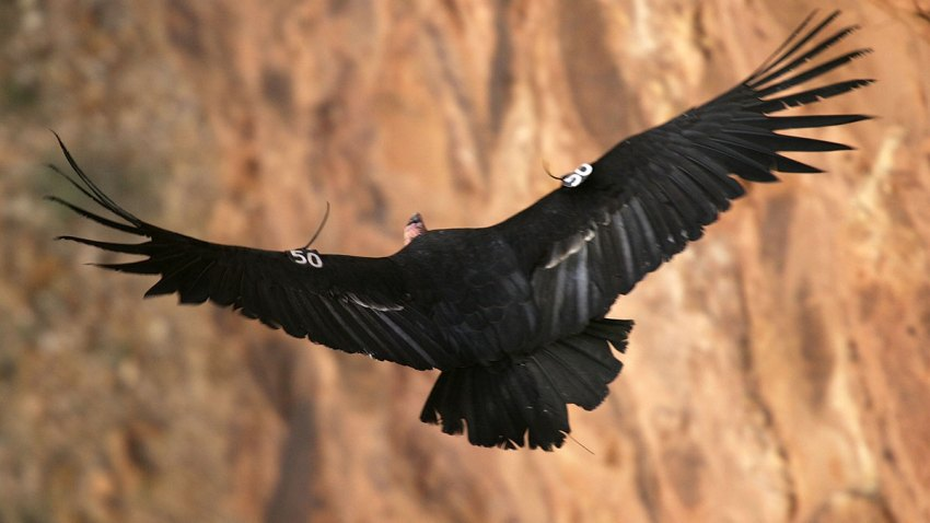 Condor-California-73686733