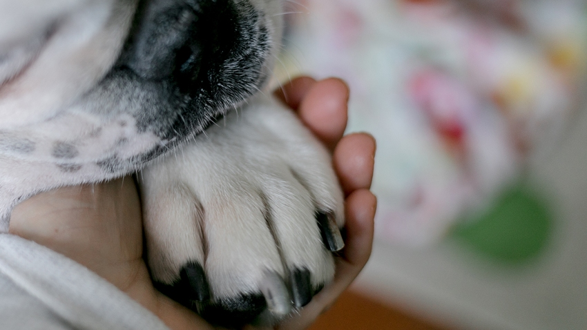 "A close-up of a dog paw ""holding hands"" with a human companion"