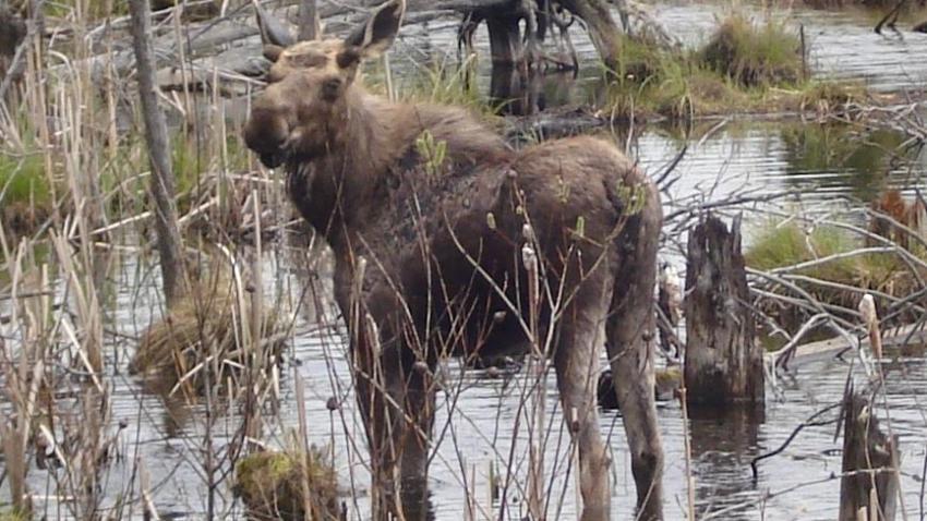 [UGCCHI] Young Moose