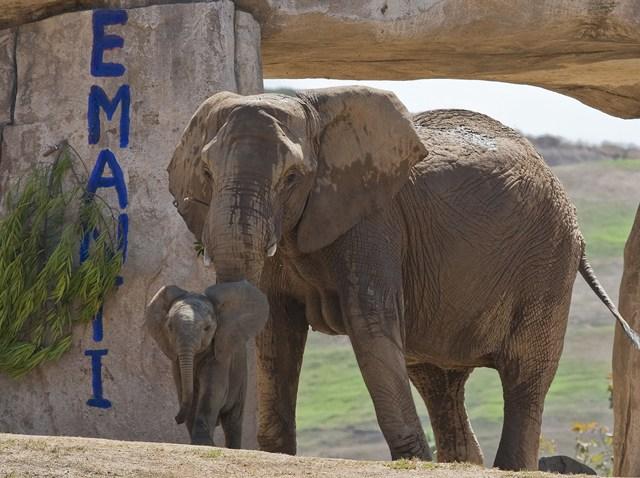 Elephant calf Emanti