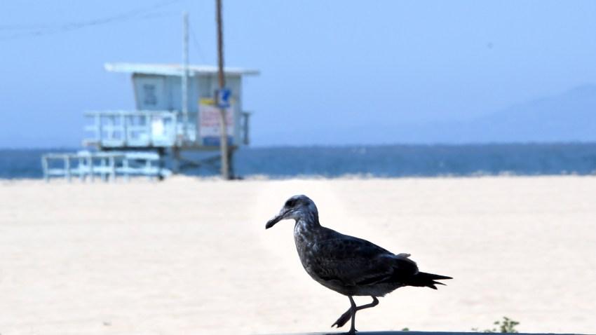 A bird walks on Venice Beach.