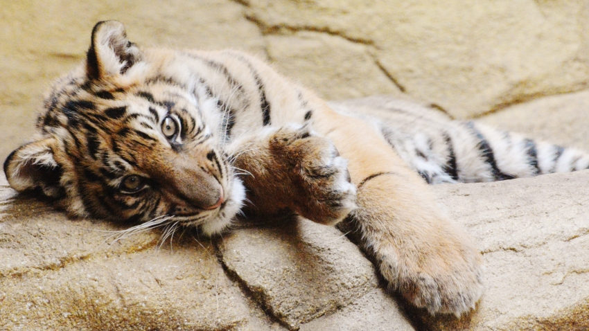 File Image: Portrait of tiger lying down