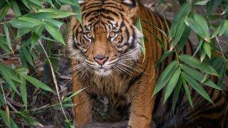 LA Zoo Female Sumatran Tiger by Jamie Pham