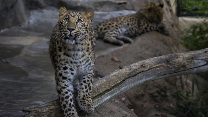 Rare Leopards Pounce onto the Scene at San Diego Zoo