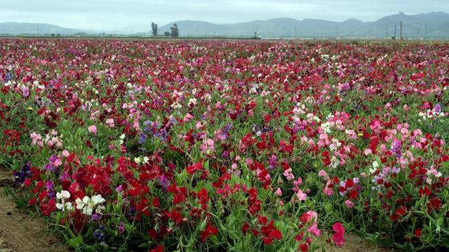 Lompoc_Sweet_Peas_FlowerFields1_creditExploreLompoc.com