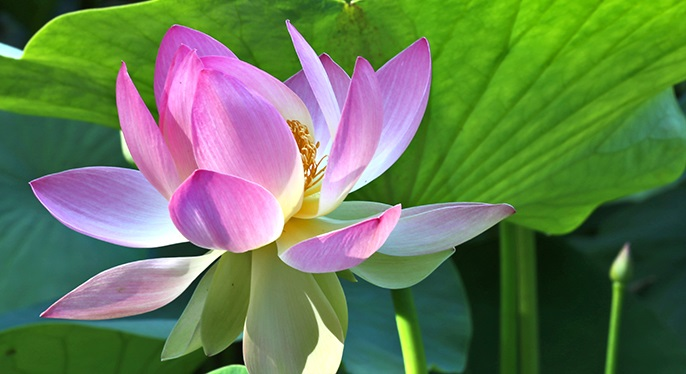 LotusatLotuslandJune
