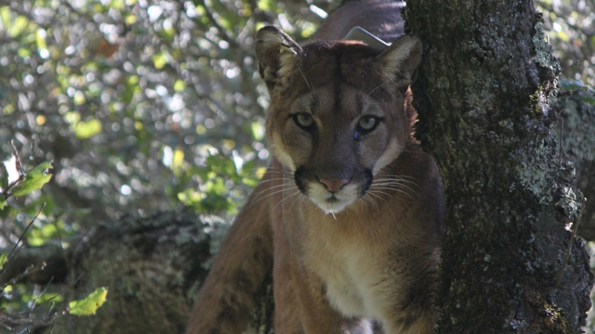 Mountain Lions STILL 1