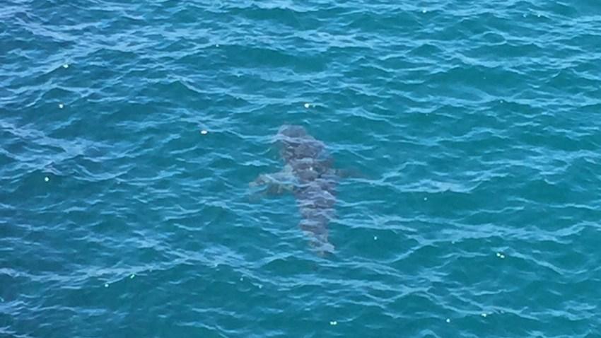 Oceanside shark
