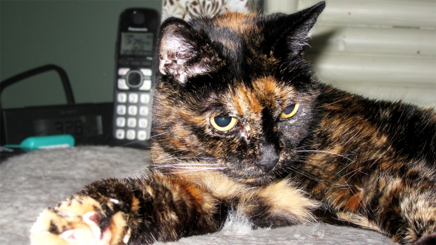 Oldest Cat Living - Tiffany Two -Guinness World Records 2 copy