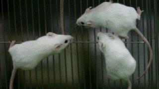 PHI lab mice