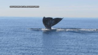 A whale's tail is vertical right above the surface of the ocean