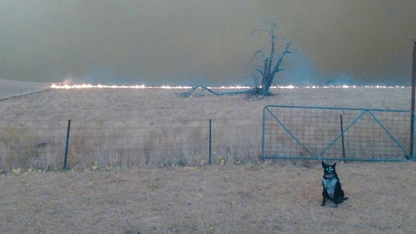 Patsy, a shepherd mix, brought more than 220 sheep to safety during Australia's devastating wildfires.
