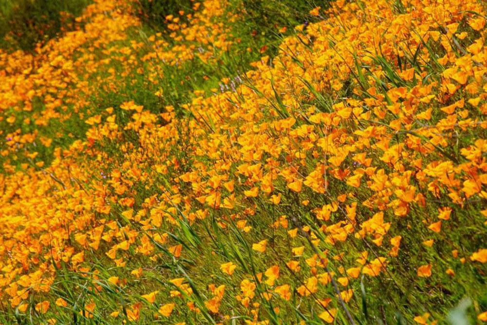 Wildflowers Bloom In Mission Trails Regional Park Nbc 7 San Diego
