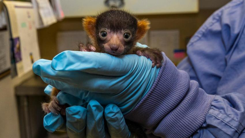 Rare Red Ruffed Lemur Born at the San Diego ZooFirst of Its Spec