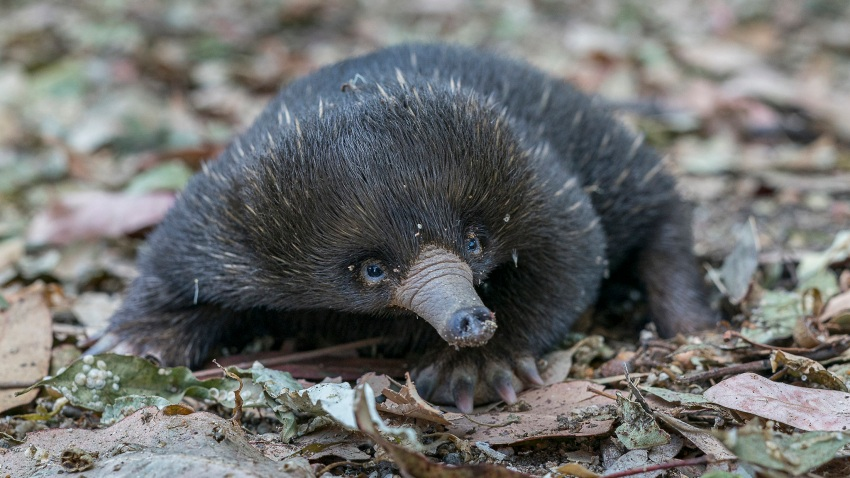 San Diego Zoo Global announces the hatching of an echidna puggle at the San Diego Zoo Safari Park.