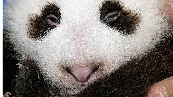 San Diego New Panda