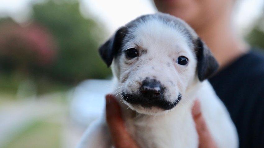 Salvador Dolly - mustache puppy
