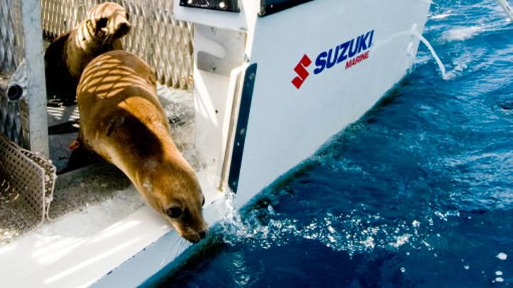 SeaWorld Returns Sea Lions to Ocean 5.16.2012