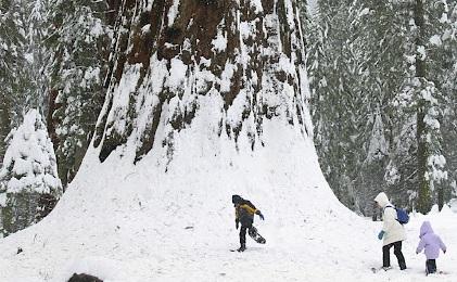SequoiaWinter12