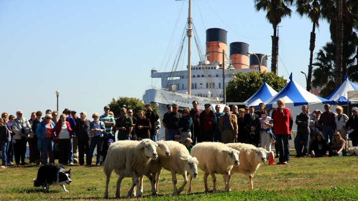 SheepQueenMary
