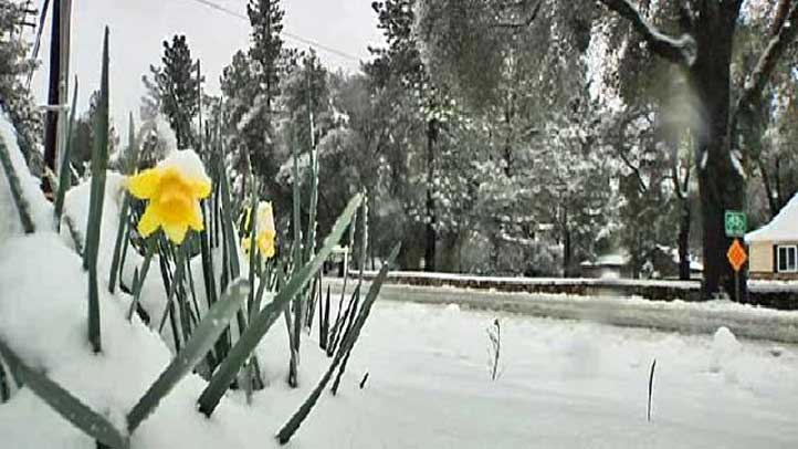 Snow-Daffodils-Pine-Valley