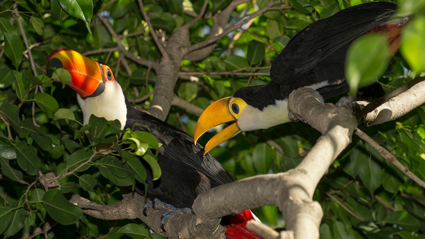 Twin Toucan Chicks Spread Their Wings at the San Diego Zoo Hatch