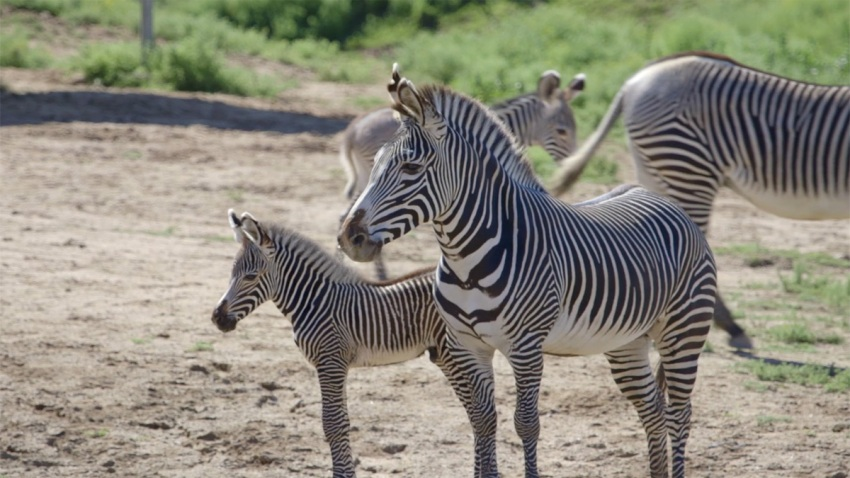 Zebra Births