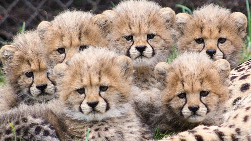 Zoo-Cheetah-Cubs-Global-Pic