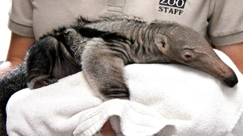 11-17-15-anteater-santa-barbara-1