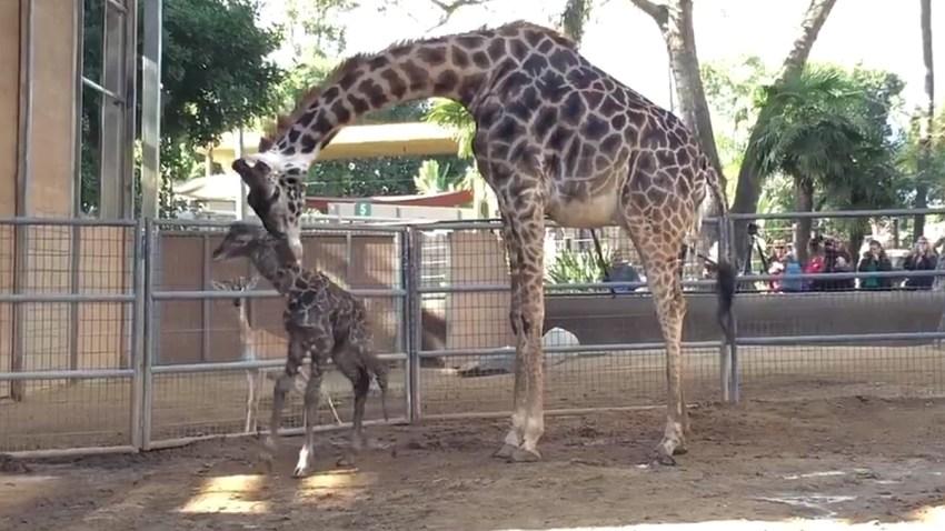 baby-giraffe-zoo-121415_3