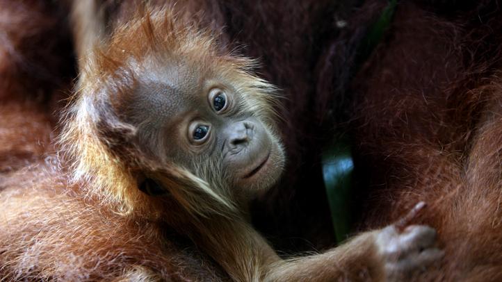 Singapore Sumatran Orangutan