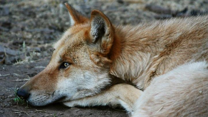 californiawolfcenterwolfweek