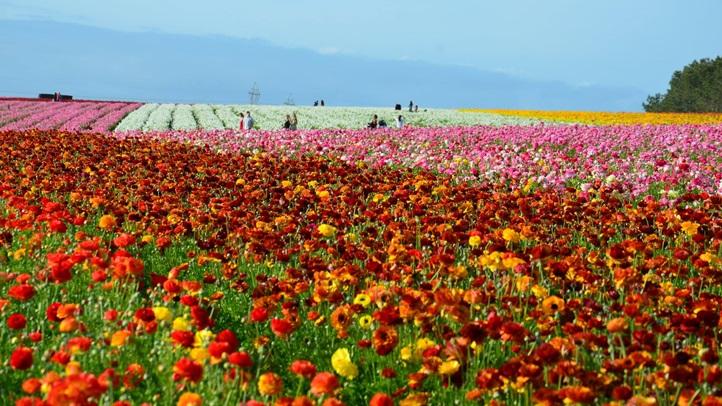 flowerfieldsmarch2016