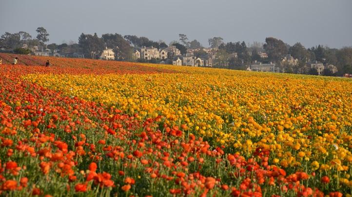 flowerfieldsmarch29