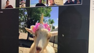 A goat from the King Wild Animal Sanctuary dons a dashing headband while making an appearance on a virtual meeting.