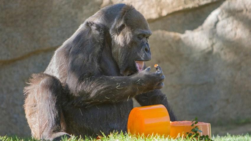 She Takes the Cake: San Diego Zoo Safari Park Celebrates Gorilla
