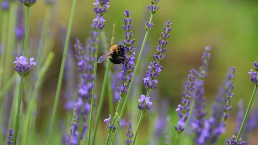 lavender011