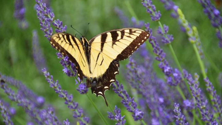 lavenderbutterfly20993922