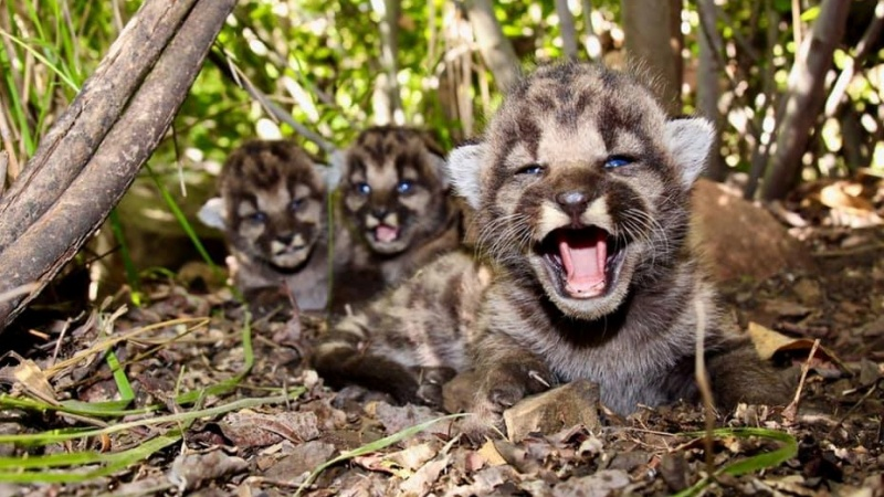 Three Cute Cubs Born to a Local Mountain Lion